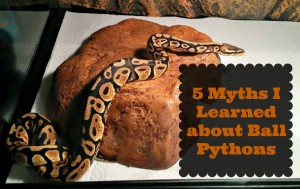 5 Myths I Learned about Ball Pythons